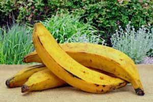 plantain fruit or vegetable